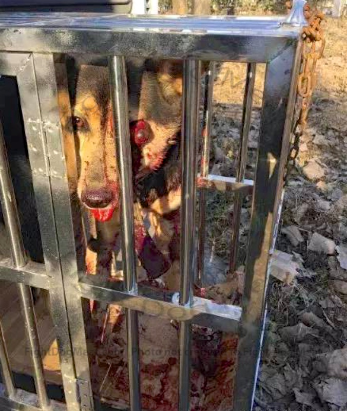 China: Dog Meat Dog Rescued, With Horrific Injuries