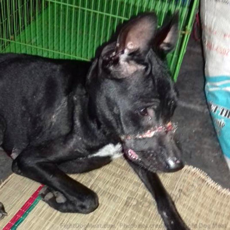 Update: Vietnam: 'Hope' Dog Meat Survivor, 2