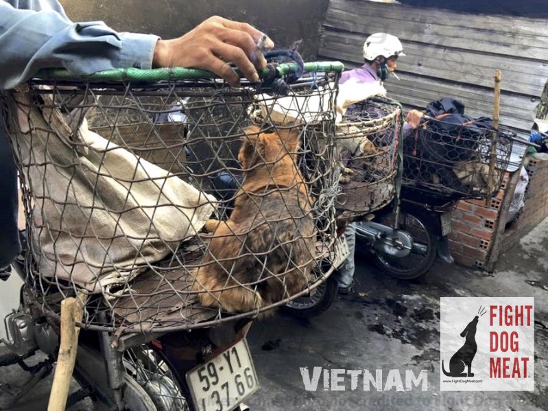 Vietnam: 13 Dogs Rescued From Dog Butcher Death Cage