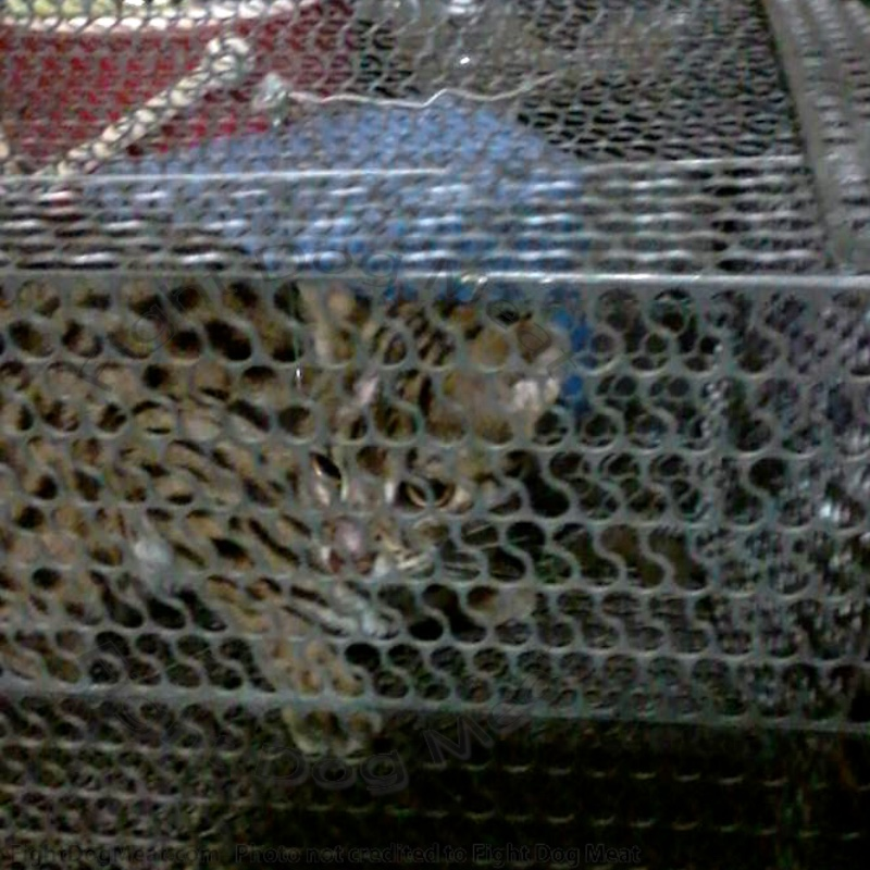 Vietnam: Endangered Wild Cat Rescued From The Cat Meat Trade