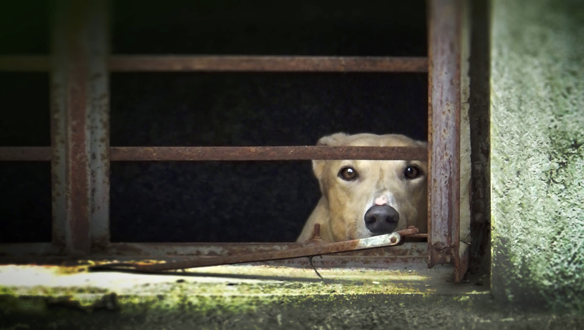 Macau: Greyhound Racing And Dog Meat