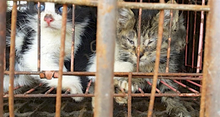 South Korea: 48 Dogs And Cats For Meat Rescued In Distress, By C.A.R.E.