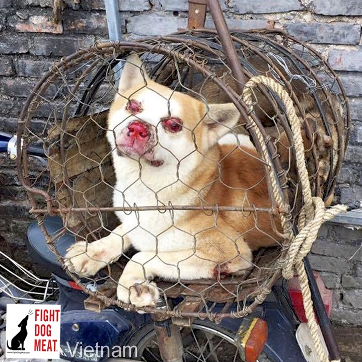 Vietnam: Blinded Dog In A Dog Snatchers Cage