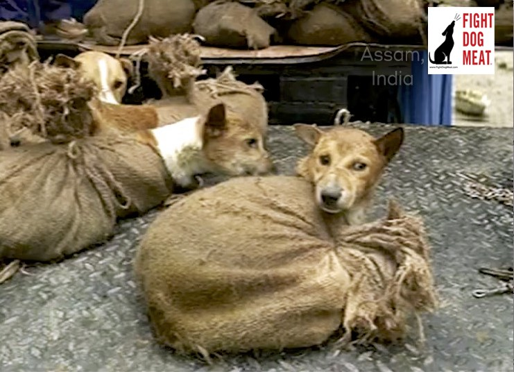 Assam, India: 75 Dog Meat Dogs Rescued