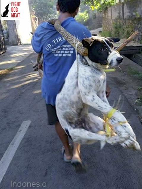 Indonesia: Dog Meat Dog Trussed For Slaughter