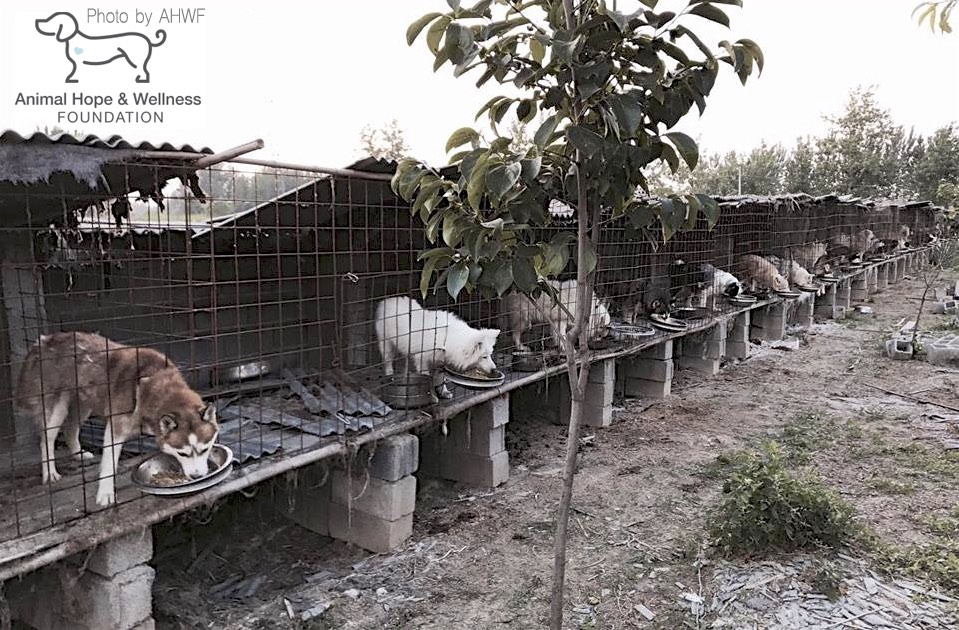 China: Dog Farms Uncovered in China By AHWF