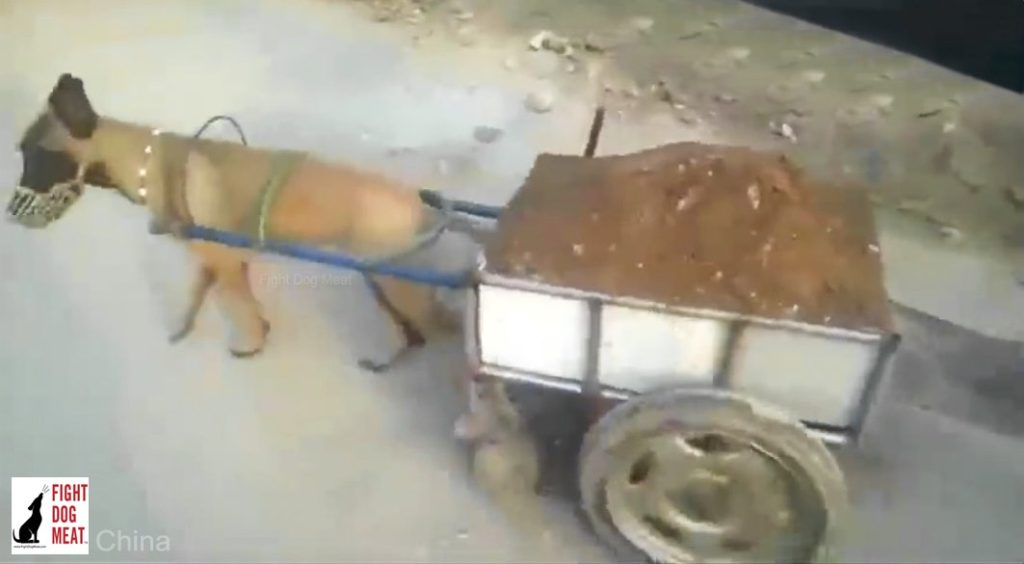 China, Video: Dog Forced To Pull Heavy Loads Of Dirt