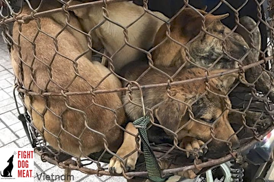 Vietnam: Rescued From Dog Meat Traders