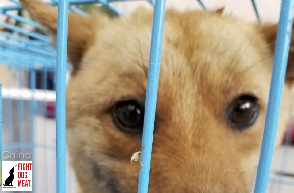China: Vet Loses Everything To Save Yulin Dog Meat Dogs