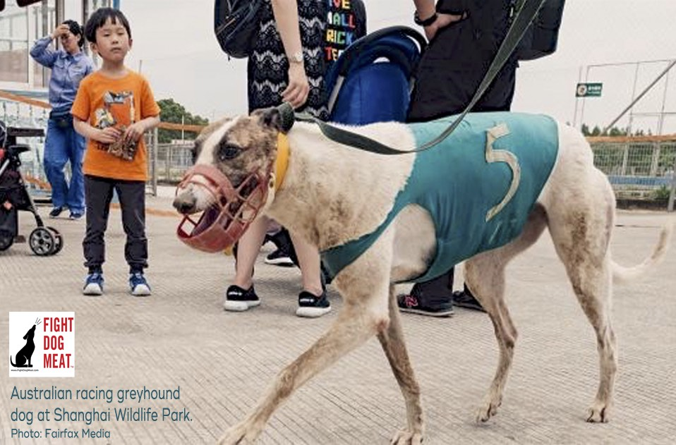 China: Australian Racing Greyhounds Still Languishing At Shanghai Wildlife Park