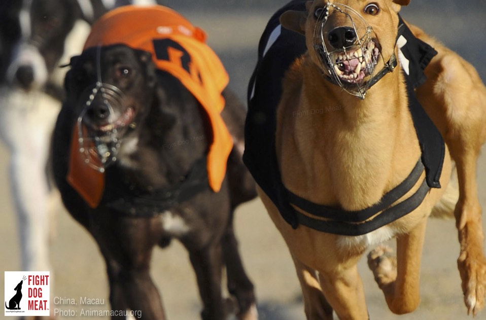 China: What will Happen To Macau's Export Greyhounds When The Track Closes?