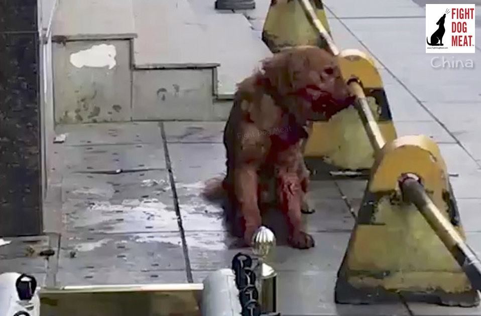 China: Update: Golden Retriever Beaten To Death By Police Officer