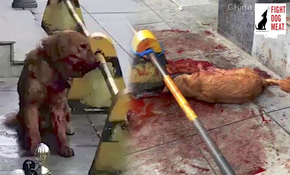 China: Golden Retriever Beaten To Death, Officer Rewarded, Part 3
