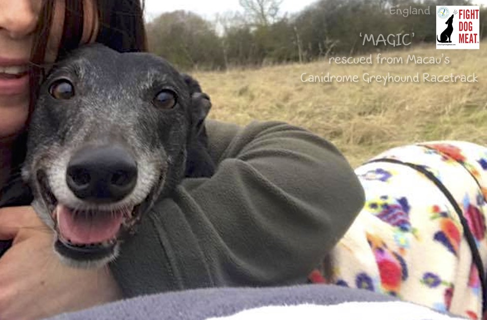 UK: Australian Greyhound MAGIC Rescued From China, Living in UK