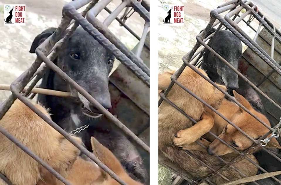 Vietnam: Tattooed Greyhound In Dog Meat Cage