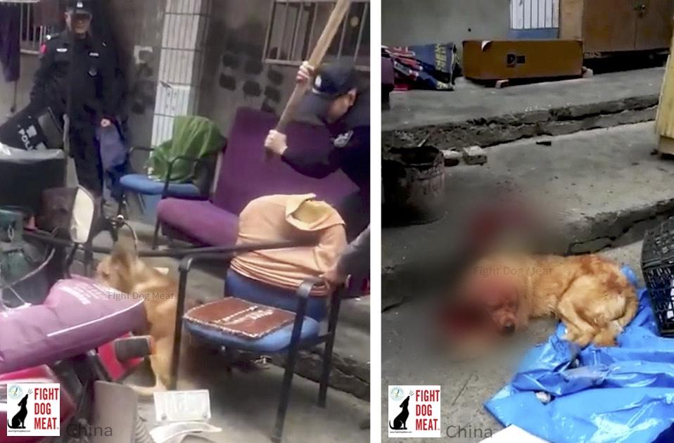 China: Police Bludgeon Golden Retriever
