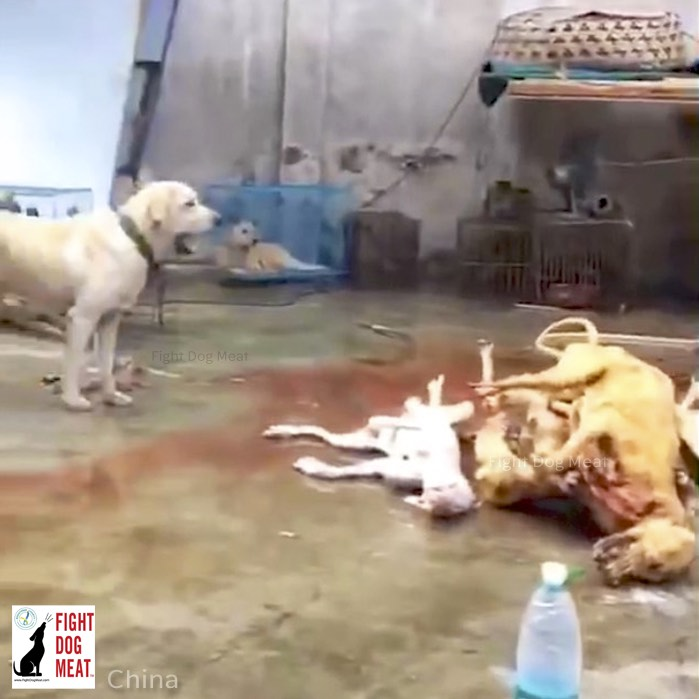 www.FightDogMeat.com, pet centric, Fight Dog Meat, fightdogmeat. Husky dog