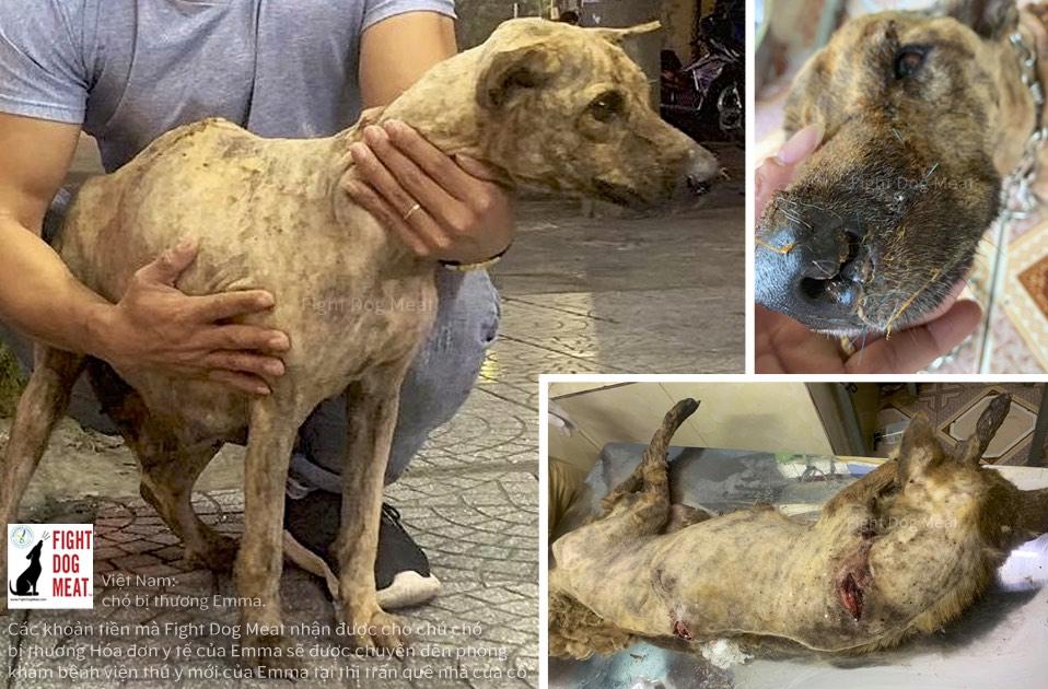 Việt Nam: Tiền nhận cho chó bị thương Emma